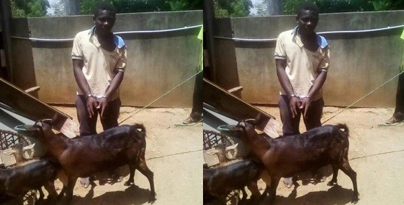 """""""I Sought It's Consent"""" – Man Caught Having Sex With A Goat Says"""