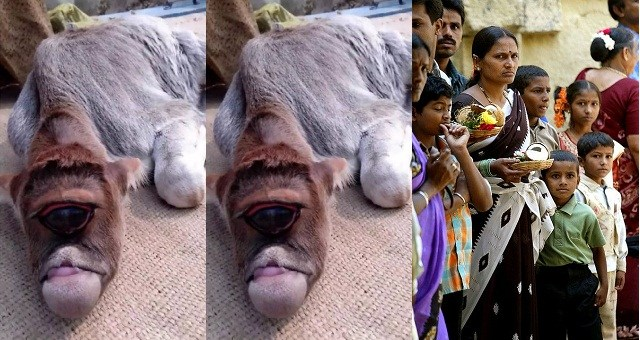 Deformed Calf Born With One Eye Being Worshiped As God By Villagers