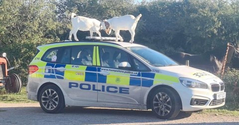 Police Ask For Public Assistance To Identify Goats That 'hijacked And Destroyed' Police Car In Broad Daylight… Lol
